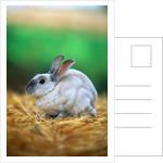 Rabbit Sitting on Bale of Straw by Corbis