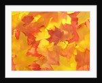 Fall Colored Maple Leaves by Corbis