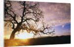 Oak Tree at Sunrise by Corbis