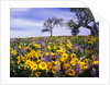 Oak Trees in Lupine and Sunflower Meadow by Corbis