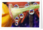 Butterfly Reflected in Water Drops on Flower by Corbis