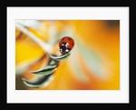 Ladybug Crawling by Corbis