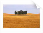Cluster of Cypress Trees by Corbis