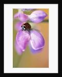 Ladybug Perching on Flower by Corbis