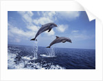 Bottlenose Dolphins Jumping by Corbis