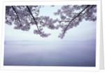 Lake Tazawa and Cherry Blossoms by Corbis