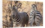 Zebras by Corbis