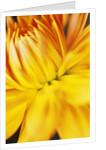 Dahlia Flower by Corbis
