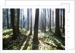 Sunlight Illuminating Forest by Corbis