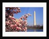 Blooming Magnolia near Washington Monument by Corbis