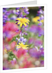Yellow Daisies Among Flowers by Corbis