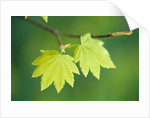 Pair of Leaves Hanging on Branch by Corbis