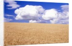 Cumulus Clouds Floating over Wheat Fields by Corbis