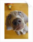 Weimaraner Puppy Staring by Corbis