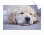 Golden Retriever Puppy Sleeping by Corbis
