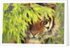 Bengal Tiger Hiding Behind Leaves by Corbis
