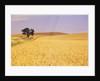 Oak Tree Amidst Wheat Fields by Corbis