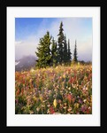 Evergreens and Blooming Wildflowers by Corbis