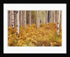 Aspen Forest in Golden Colored Ferns by Corbis