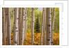 Aspen Forest by Corbis