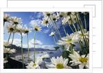 Wildflowers in Bloom Along Coastline by Corbis