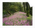 Wildflowers Blooming Beside Creek in Forest by Corbis