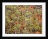 Aspen Trees in Grand Teton National Park by Corbis