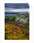 Flowers Along Carna Bay by Corbis