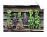 Herbs Drying Upside Down by Corbis
