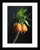 Crown Imperial by Corbis