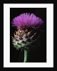 Cardoon by Corbis