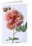 English Elegance Rose by Corbis