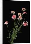 Argyranthemums in Bloom by Corbis