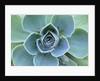 Succulent Echeveria by Corbis