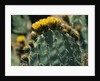 Flowering Nopal Cacti by Corbis