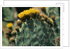 Flowering Nopal Cacti by Corbis