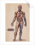 Medical Diagram of a Man's Body by Corbis