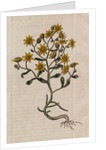 Hairy Houseleek Plant by Corbis
