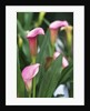 Pink Calla Lily Flowers by Corbis