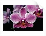 Flowers of Phalaenopsis Hawaiian Chieftess 'Nuuanu' Orchid by Corbis