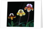 Three Paphiopedilum Orchids by Corbis