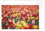 Colorful Tulips in Meadow by Corbis