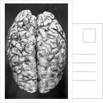 Top of Human Brain by Corbis
