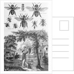 Illustration of Bees at Beekeeper at Work by Corbis