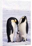 Emperor Penguins with Chick by Corbis