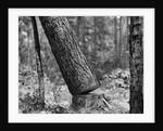 Falling Pine Tree by Corbis