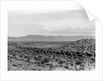 Cattle Drive Through Desert by Corbis