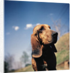 Brown Bloodhound by Corbis