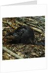 Beaver by Corbis