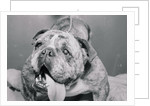 English Bulldog with Tongue Hanging Out by Corbis